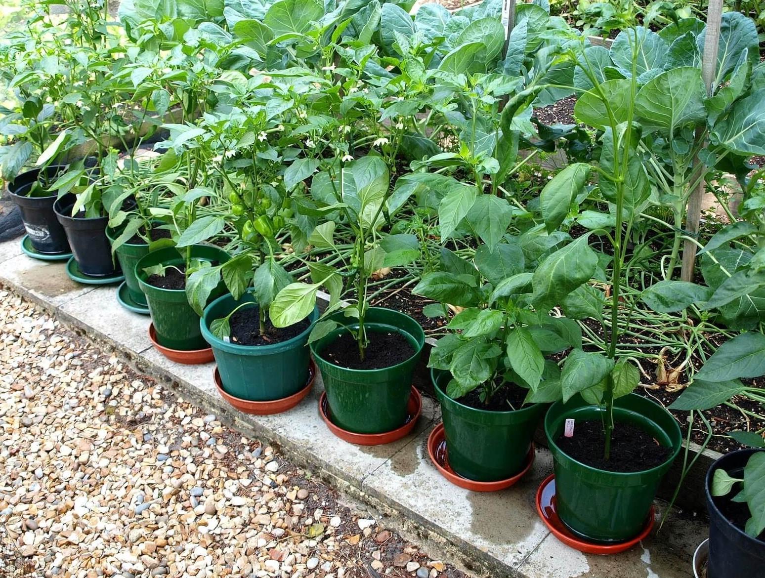 كيفية زراعة الفلفل جورنال كلابشة